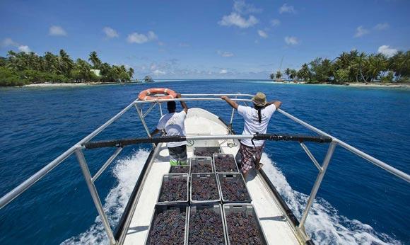 Transport des raisins en bateau sur le lagon de Rangiroa.