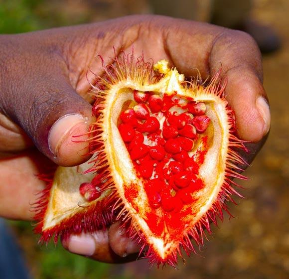 Récolte responsable à la main de l'Urucum par ce membre de la tribu Sateré Mawé du Brésil, avec laquelle Guayapi collabore de manière équitable.