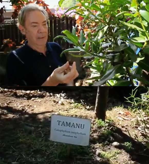 Philippe Maunier et le Tamanu Tahiti dans son jardin à Papara, juste derrière la pharmacie...