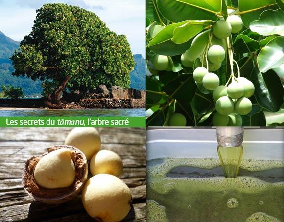 Tamanu Tahiti : l'arbre, ses fruits, son amande et son huile.