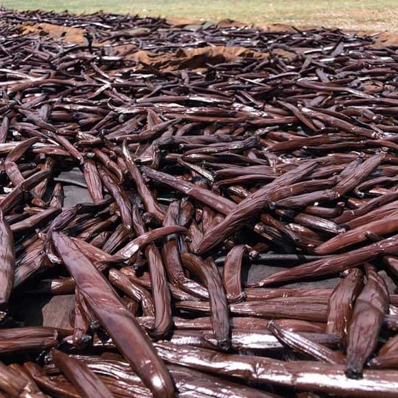 Séchage des Gousses Tahiti Vanille à Raiatea