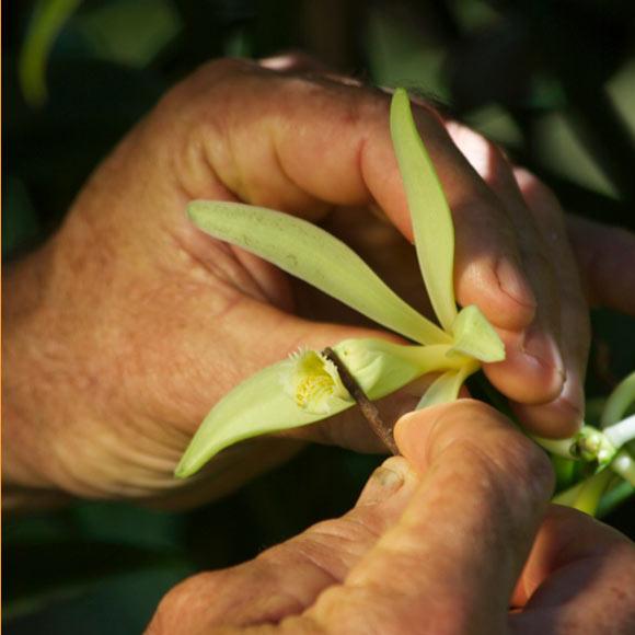 La fécondation manuelle des fleurs fait l'objet d'une attention toute particulière : seules les plus vigoureuses sont sélectionnées. Durant 9 mois, elles seront les hôtes de la liane mère, le temps de se transformer en gousses charnues gorgées d'arômes.