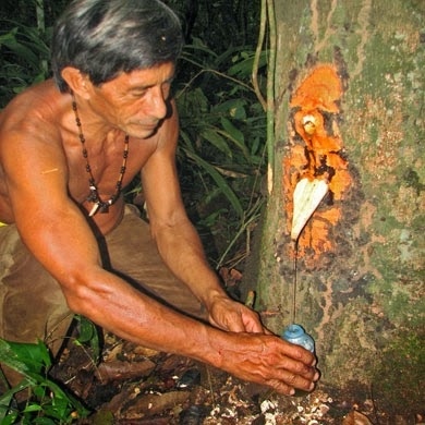 Le baume de Copaiba est obtenu par incision, en forant des trous dans le tronc par lesquels le baume va pouvoir s'écouler. Certains arbres fournissent souvent 30 litres de baume, voire davantage. L'arbre ne meurt pas, évidemment.