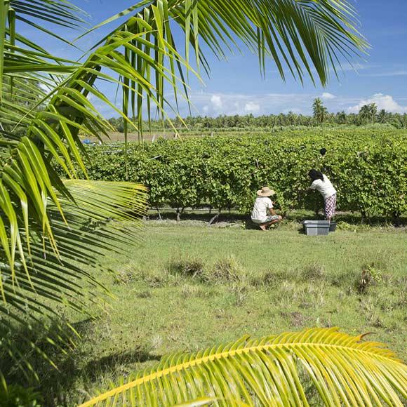 Vin de Tahiti récolté, vinifié et élevé à Rangiroa (Tuamotu).