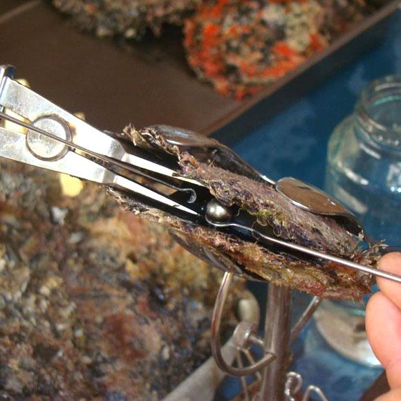 Extraction d'une Perle de Tahiti de la Nacre Pinctada Margeritifera ©kamoa