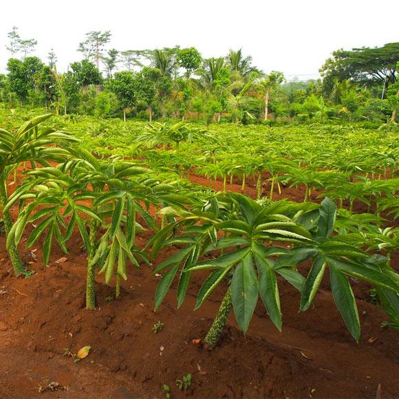 EPONGE VÉGÉTALE FACONNÉE A PARTIR DE PLANTES DE KONJAC ISSUES DE L'AGRICULTURE BIOLOGIQUE