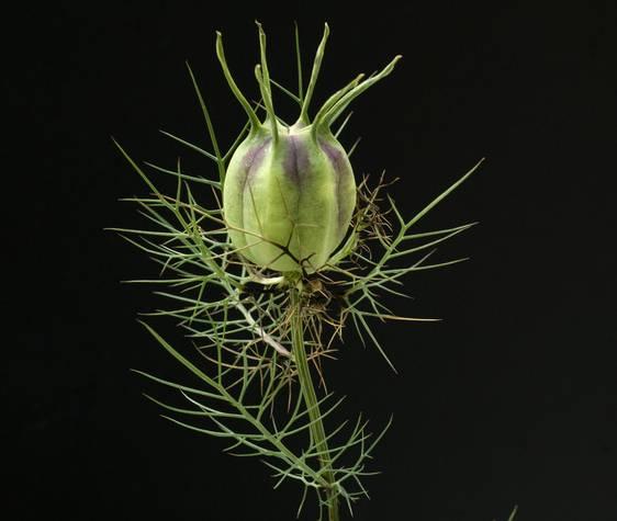 La fleur devenue poche à graines est aussi connue dans la médecine Arabe classique, le prophète Mahomet a dit : Soignez-vous en utilisant la graine de nigelle, c'est un remède contre tous les maux à l'exception de la mort.