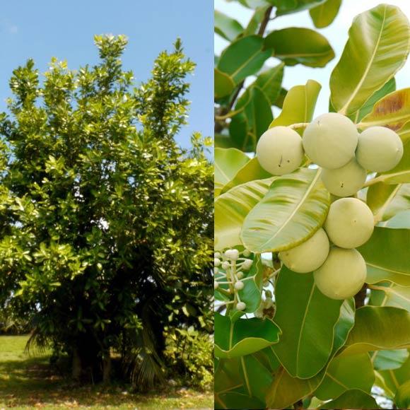 Huile 100% naturelle, produite à partir des noix récoltées en bordure de mer du Ati, l'arbre de Tamanu Tahiti, très répandu sur l'île sacrée de Raiatea. Photo : Tevi Tahiti à Raiatea.
