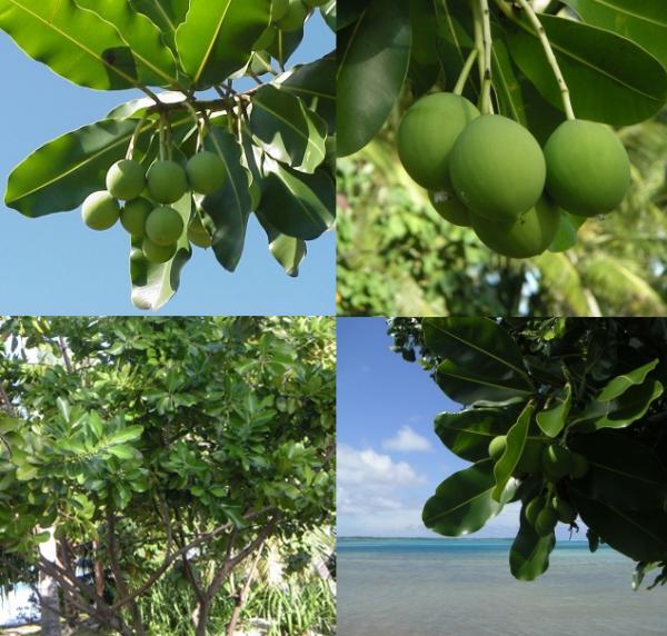 Le Tamanu est un arbre très répandu en Polynésie. Très bel arbre pouvant atteindre 25m de haut, le Tamanu orne de sa majestueuse parure le bord des eaux translucides des îles de l'Océan Pacifique, où il est considéré comme un arbre sacré.