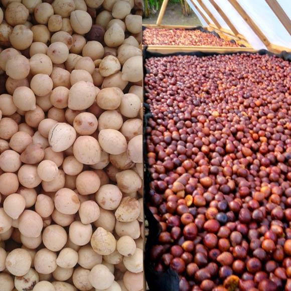 L'amande de la noix de Tamanu après le concassage manuel : à gauche, avant séchage,à droite en cours de séchage. Photo : Tevi Tahiti à Raiatea.