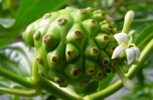 L'utilisation intensive du Noni dans les Raau Tahiti (la médecine traditionnelle polynésienne) permet d'imaginer le jus de Noni comme une panacée, véritable remède à tous les maux grâce à ses puissantes vertus thérapeutiques et diététiques.