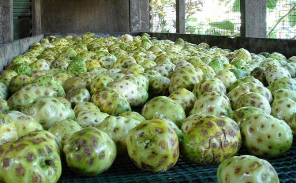 Les fruits, murs à point, sont pressés mécaniquement à Moorea, et leur jus est immédiatement pasteurisé, suivant la méthode flash, permettant de préserver tous les bienfaits naturels du Noni.