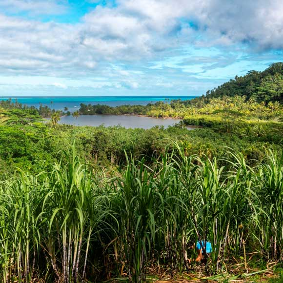 Les Rhums Manutea sont élaborés à partir de cannes à sucre situées sur l'Île de Tahaa au Domaine Pari Pari ©Manutea