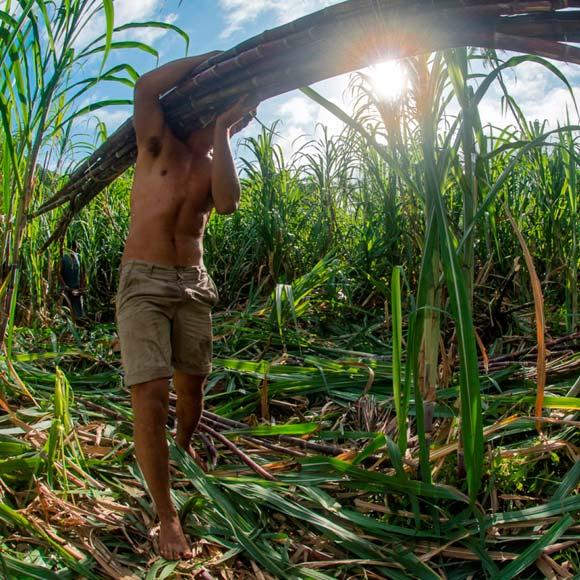 Le Renouveau de la Canne à Sucre Polynésienne.