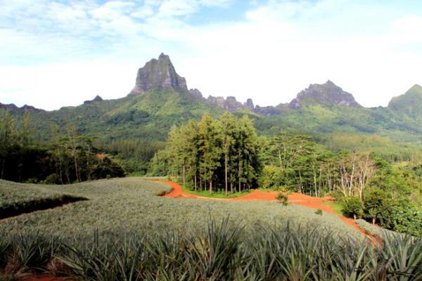Les champs d'Ananas de Moorea sont uniques en Polynésie. Sur la terre rouge et généreuse de l'ile soeur de Tahiti pousse une variété rare : Queen Tahiti, un ananas réputé juteux, au goût intense...
