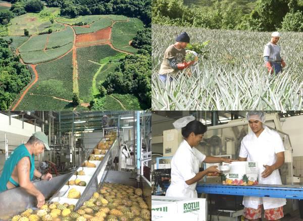 Les Jus de Fruits de Moorea sont une entreprise polynésienne très appréciée sur l'île : des emplois bien sûr, mais aussi la valorisation de la production fruitière de l'île, qui continue de s'enrichir de nouvelles filières...