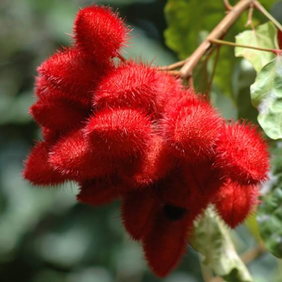 L'Urucum est une plante endémique d'Amazonie produisant de magnifiques fruits de couleur rouge, récoltés à la main pour Guayapi parla tribu des Sateré Mawé en plein coeur de l'Amazonie.