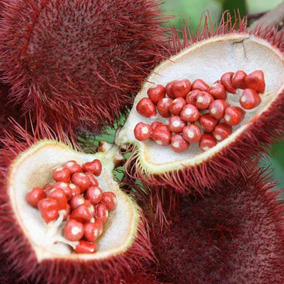 La partie utilisée est la graine, qui, une fois broyée, offre une fine poudre orange naturelle pour des utilisations alimentaires et cosmétiques...